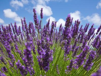 TInh dầu Oải hương Spike Lavender
