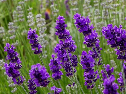 Tinh dầu Oải hương True Lavender